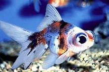 Аквариумная рыба