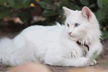 Турецкая кошка