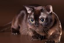Куплю коричневого кота