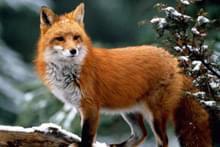 Домашний лис