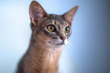 Абіссінський кіт