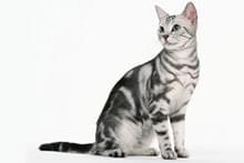 Американський кіт