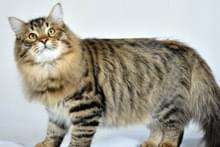 Сибірський кіт