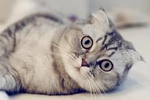 Шотландська кішка