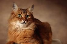 Cомалійська кішка