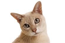Тонкінська кішка