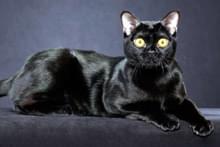 Бомбейський кіт