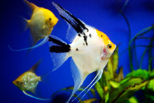 хижі рибки