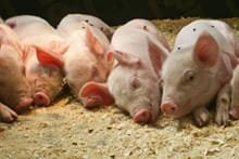 Свині, поросята